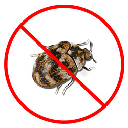 Carpet Beetle Pest Control Nottingham